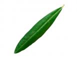 oliveoileaf-iffco-olive-oil